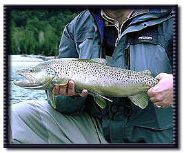 Brown trout caught in the Patagonia region of Argentina/Chile